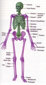 Green is the axial skeleton.Purple is the appendicular skeleton.
