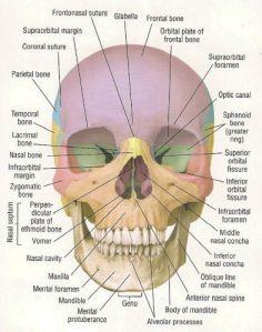 22 Bones make up the Skull